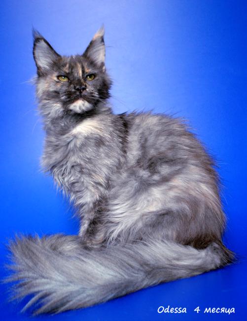 Коты породы мейн кун (55 фото большая домашняя, огромный